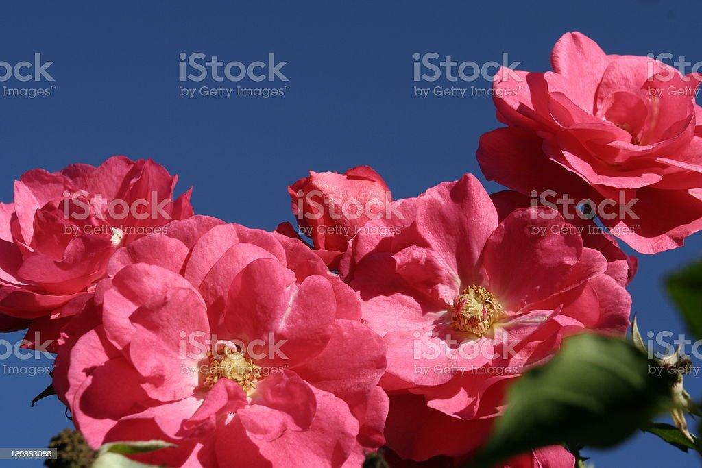 Pink_rose foto de stock libre de derechos