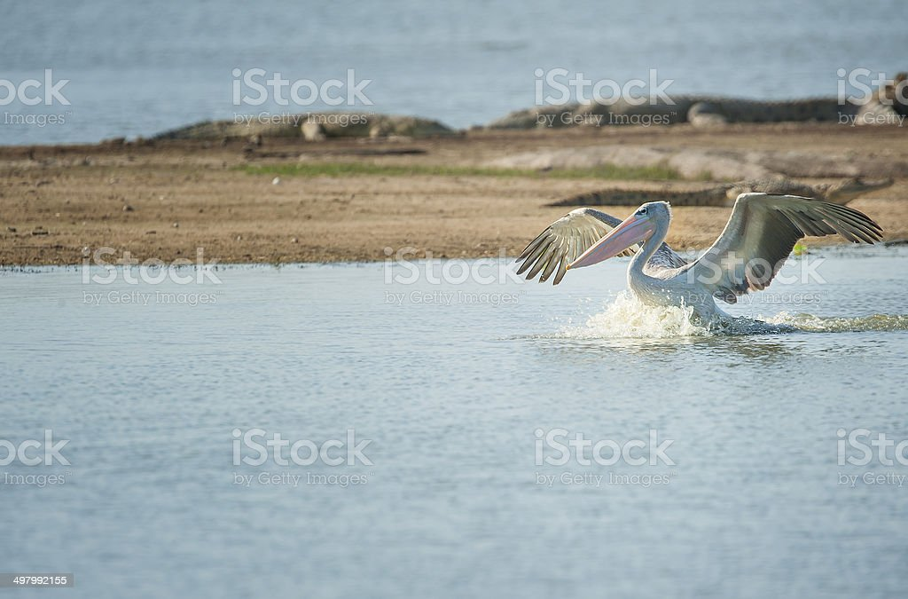 Pink-backed Pelican landing at a lake stock photo