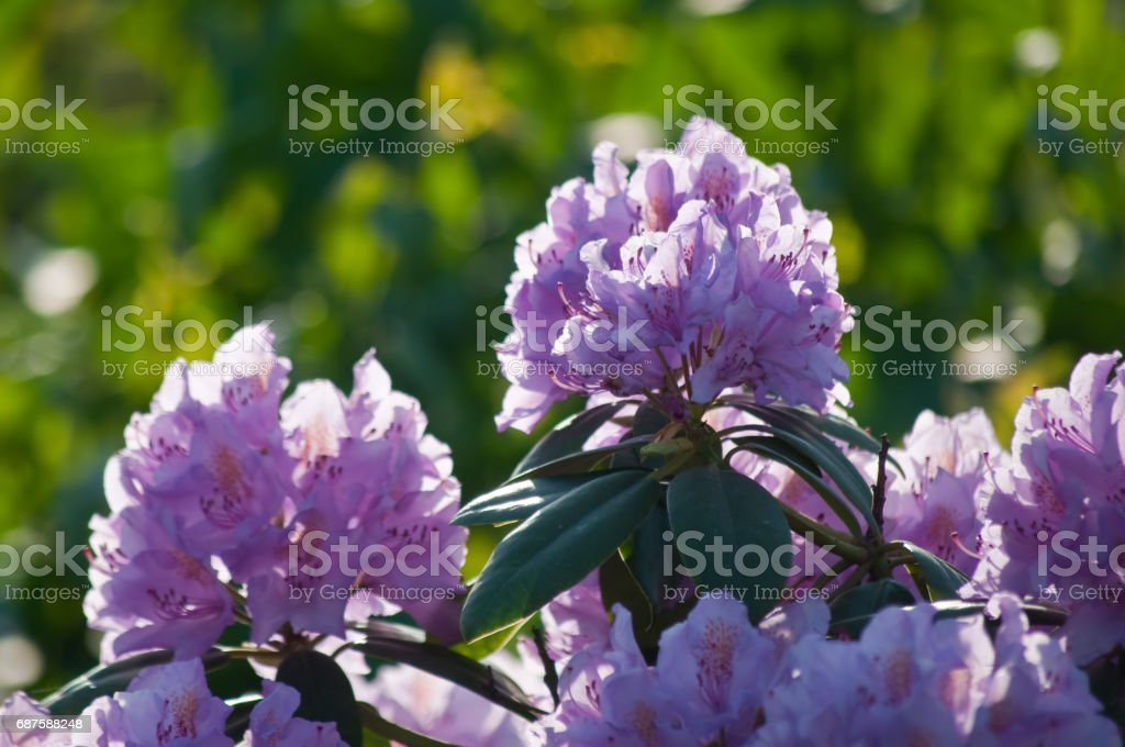 pink-colored rhododendron blooms stock photo