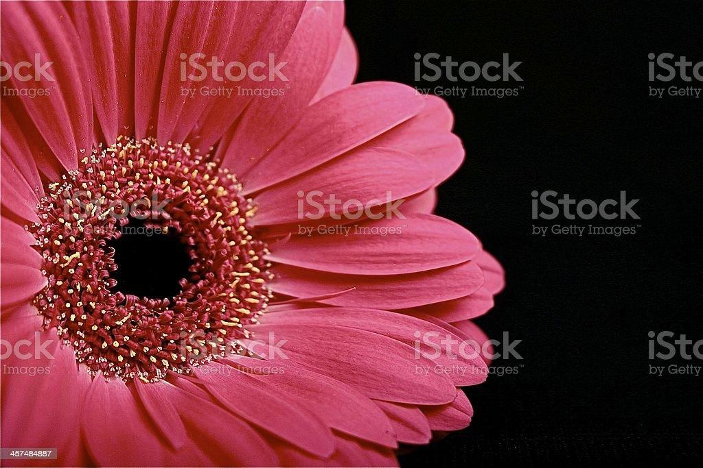Pinke Gerbera royalty-free stock photo