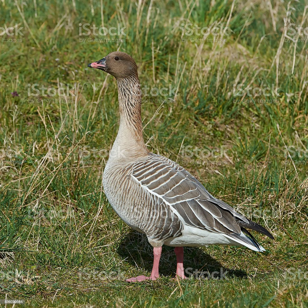 Pink-footed goose (Anser brachyrhynchus) stock photo