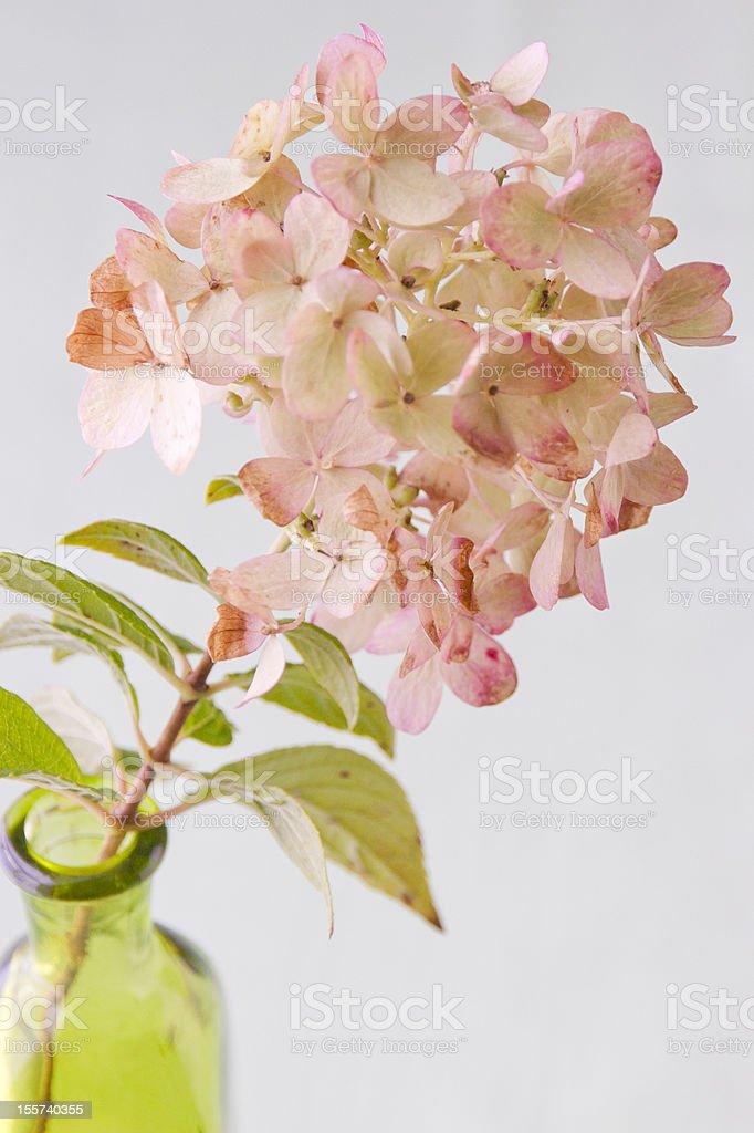 Pinkish - green  autumn Hydrangea royalty-free stock photo
