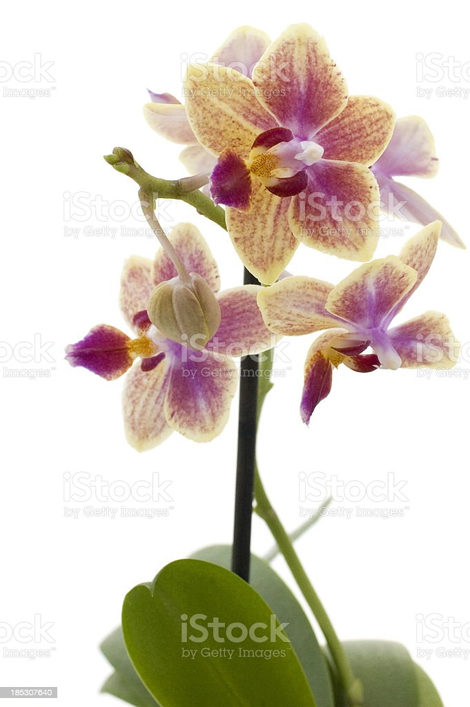 Pink-Oange Orchid royalty-free stock photo
