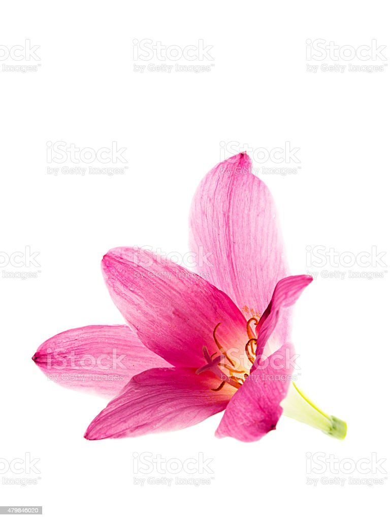 pink-purple rain lily, zephyranthes, on white stock photo