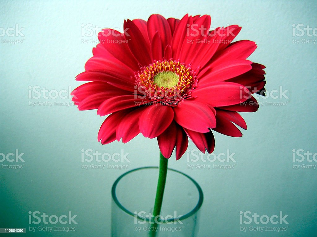 Pink-red with Yellow Center Gerbera royalty-free stock photo