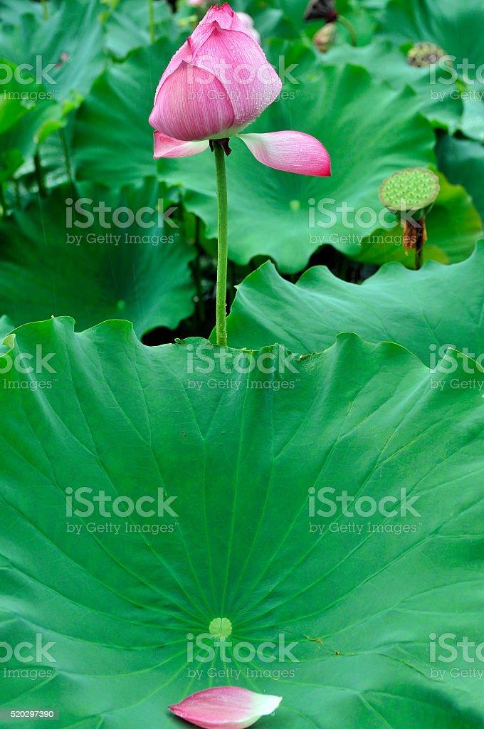 Pink-White Lotus in Dal Lake Srinagar India stock photo