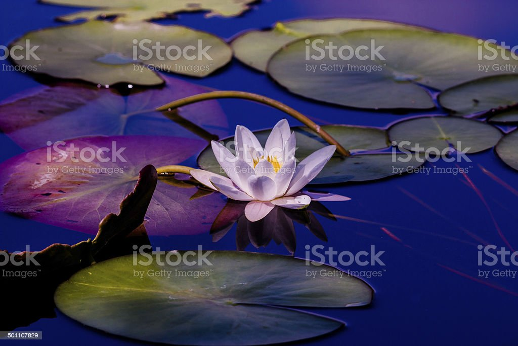Pinky Water lily stock photo