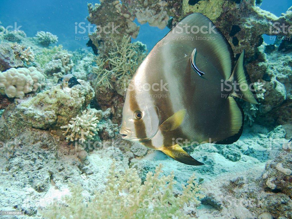 Pinnate bat fish & cleaner wrasse stock photo