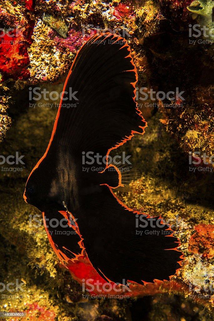 Pinnate Batfish royalty-free stock photo