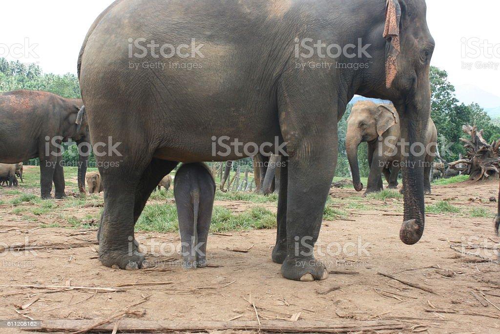Pinnawala Elephant Orphanage stock photo