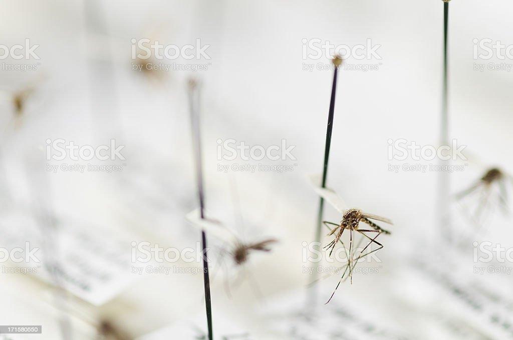 Pinned Mosquito Sample stock photo