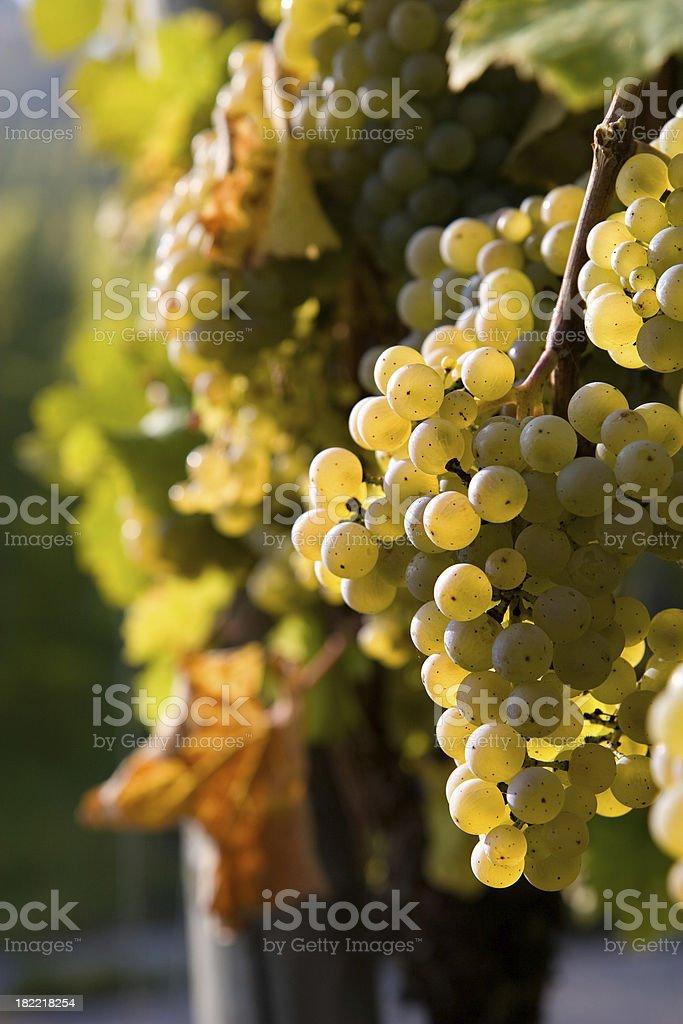 pinot blanc grapes royalty-free stock photo