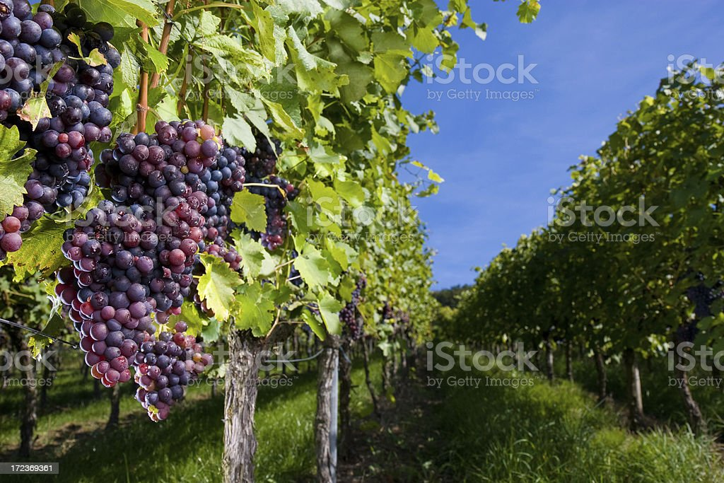 pinot gris grapes royalty-free stock photo