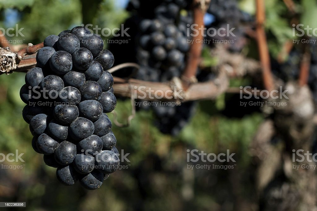 Pinot noir grape cluster royalty-free stock photo