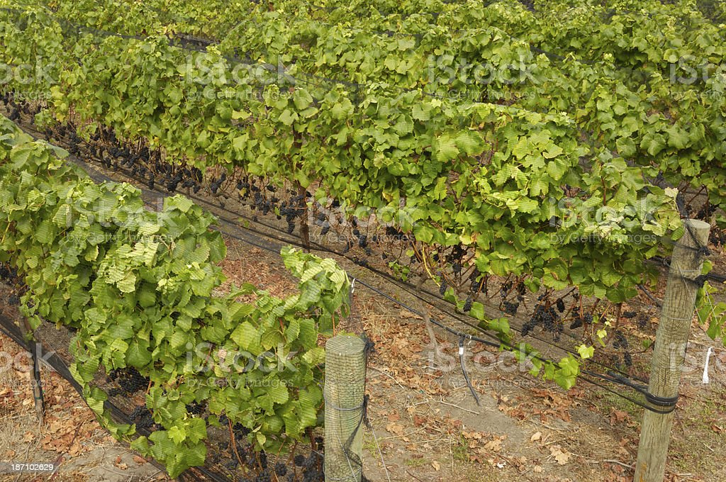 Pinot Noir Grape Yineyard royalty-free stock photo