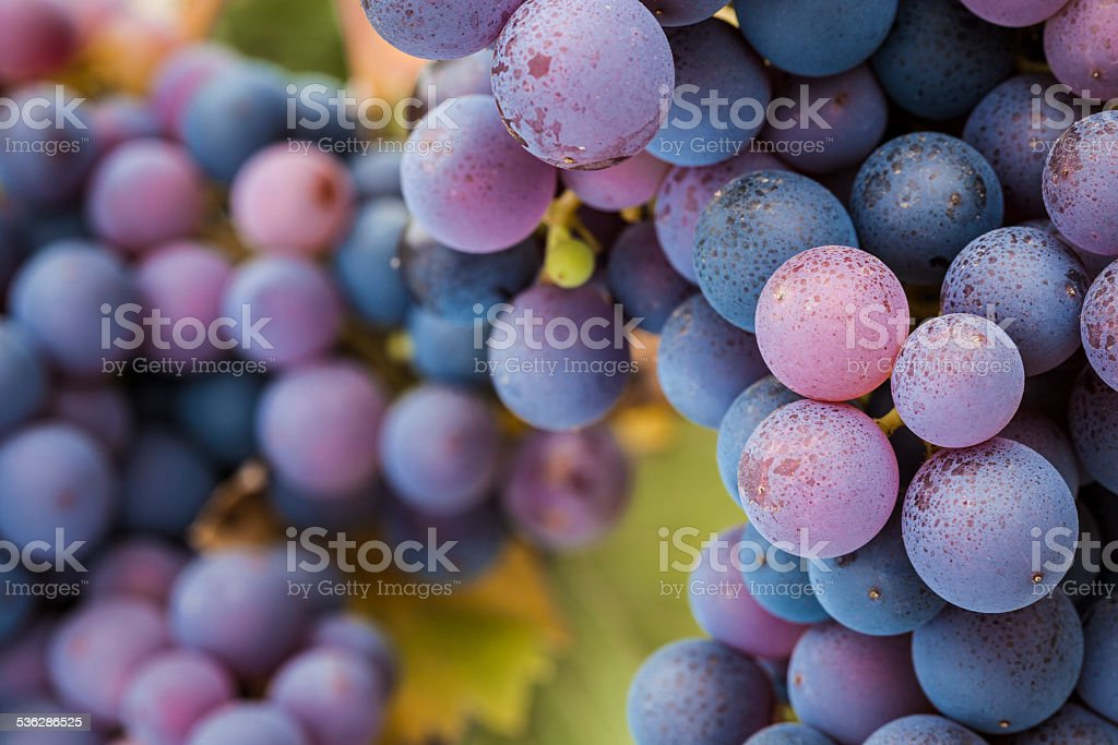 Pinot Noir grapes close-up stock photo