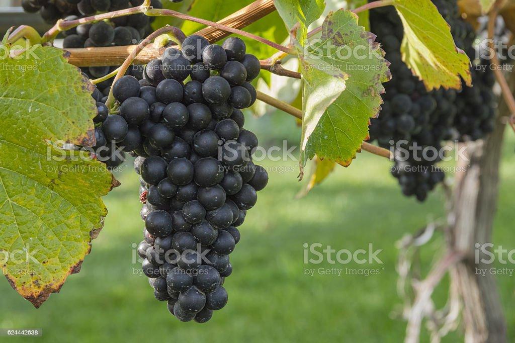 Pinot Noir Grapes in Vineyard Okanagan Kelowna British Columbia Canada stock photo