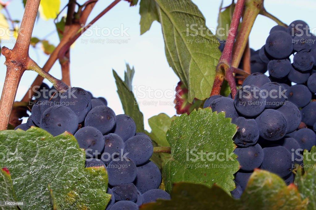 Pinot Noir Grapes royalty-free stock photo