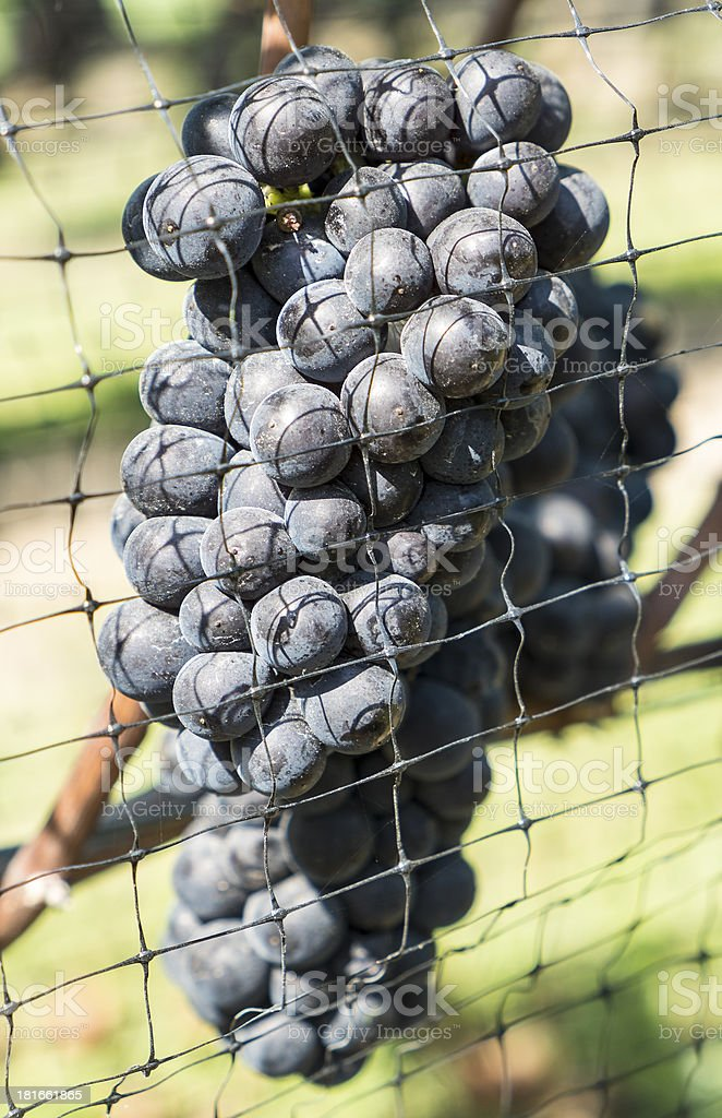 Pinot Noir Red Wine Grapes royalty-free stock photo