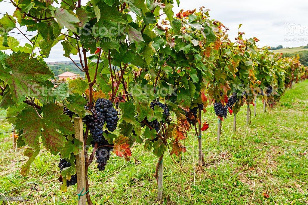 Pinot of ripe Merlot grapes stock photo