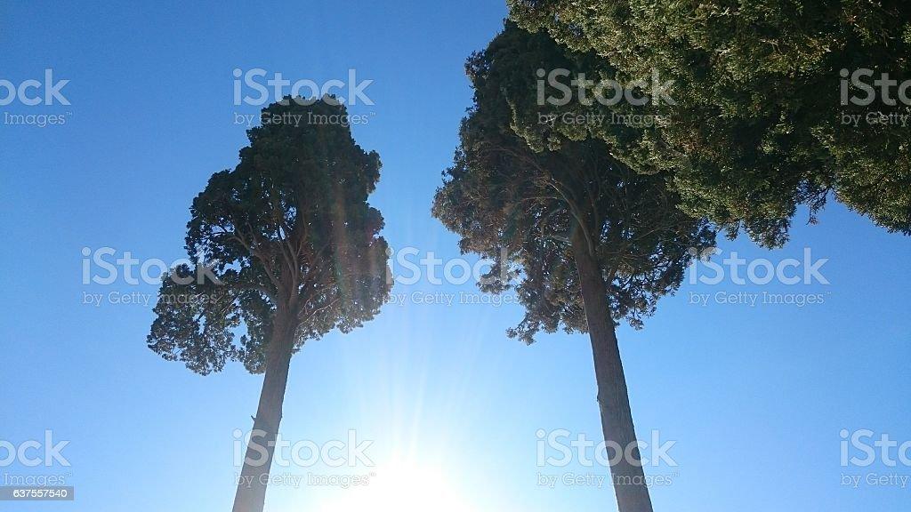 Pins au soleil stock photo