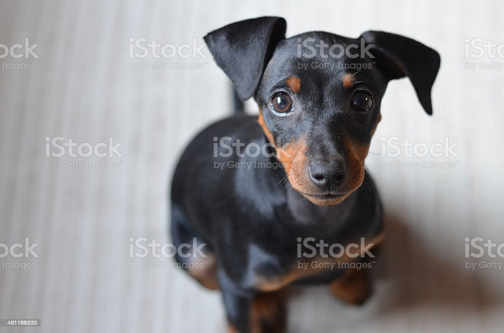 Pinscher puppy stock photo