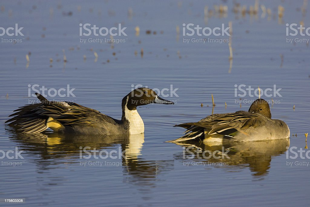 Pintail Ducks royalty-free stock photo