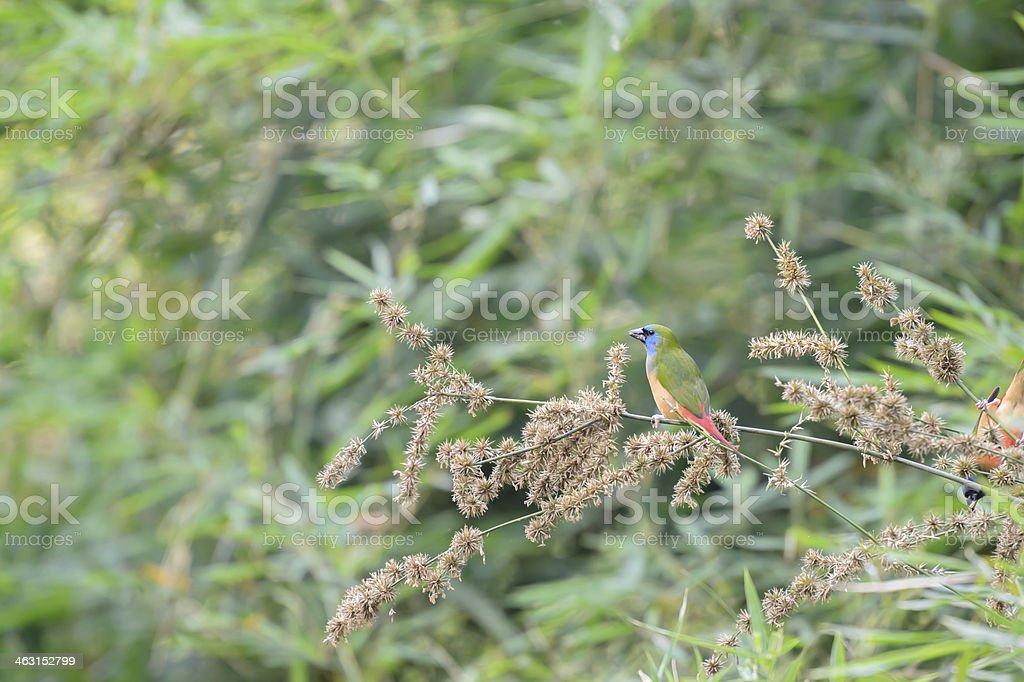Pin-tailed Parrotfinch bird Phuket Province, Thailand stock photo