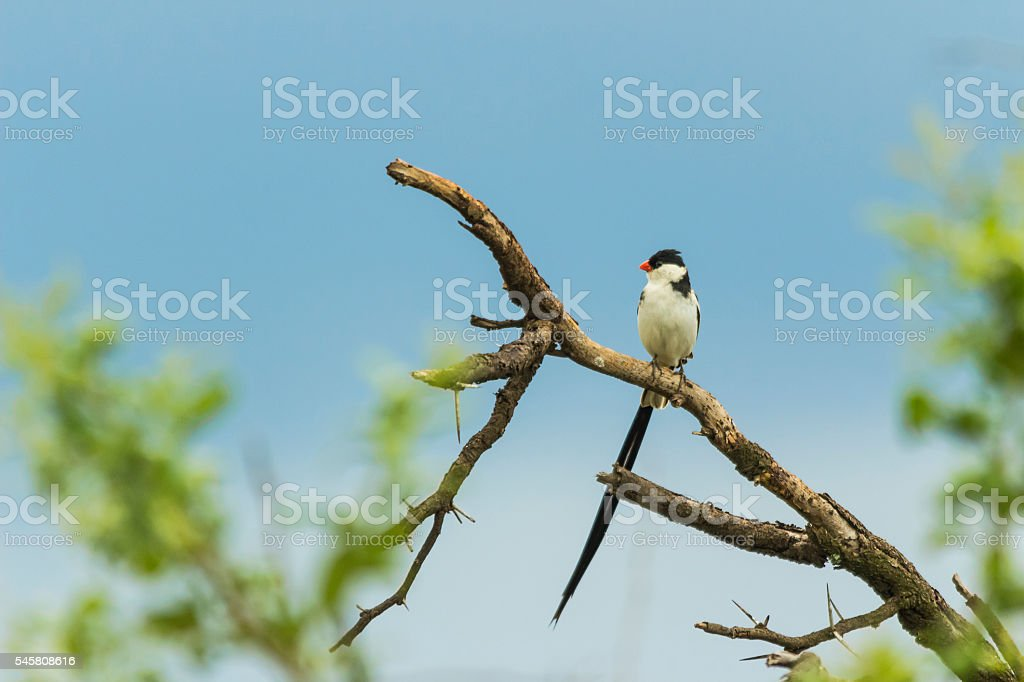 Pintailed Whydah sitting on a branch stock photo