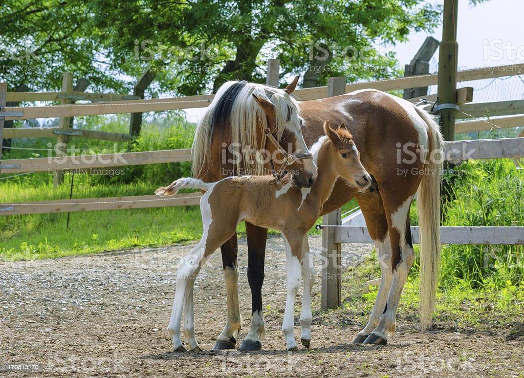Pinto Arabian horses - mare and newborn foal stock photo