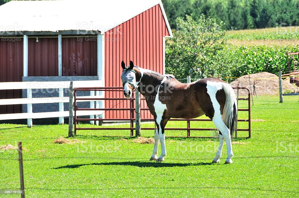 Pinto by Barn stock photo