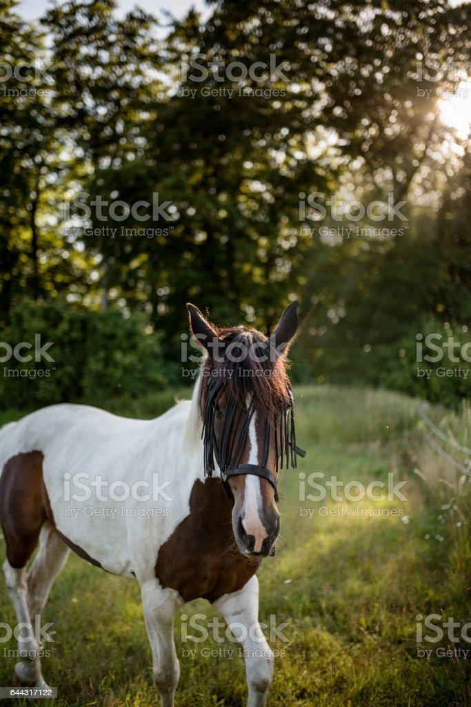 Pinto Horse In a Field. stock photo