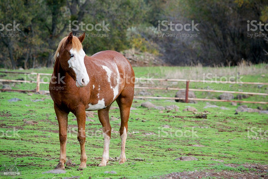 Pinto horse in the field stock photo