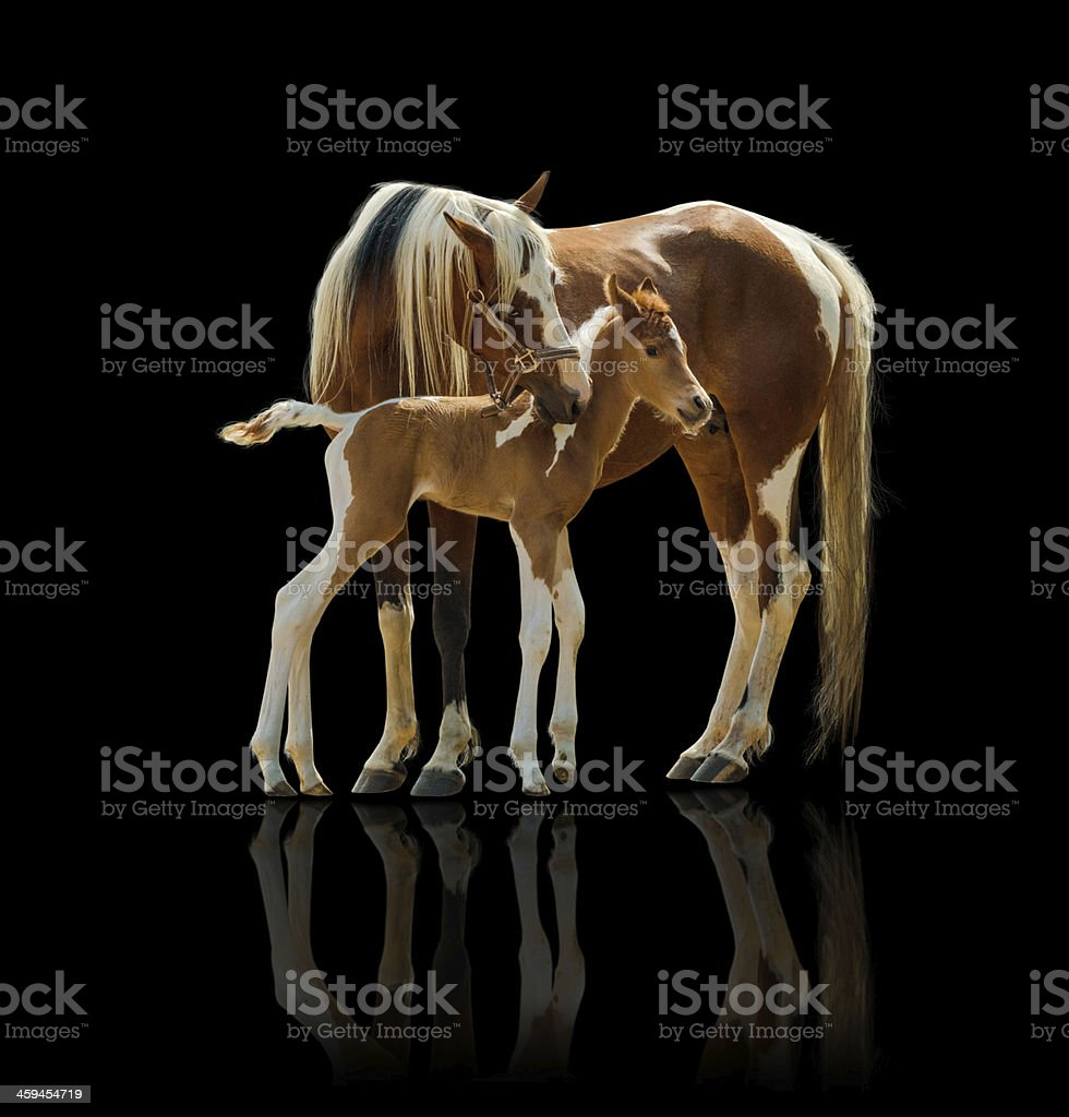 Pinto horse mare and newborn foal - isolated on black stock photo