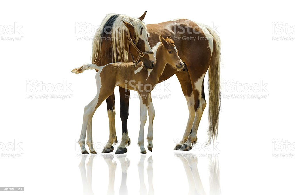 Pinto horse mare and newborn foal - isolated on white stock photo