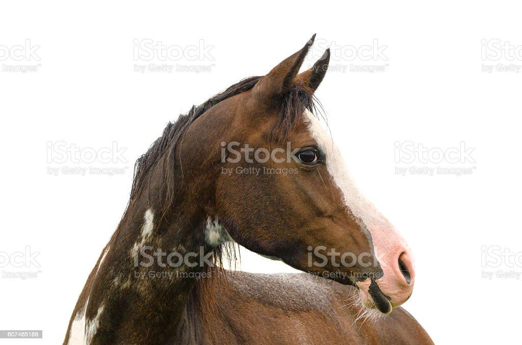 Pinto horse portrait - isolated on white stock photo