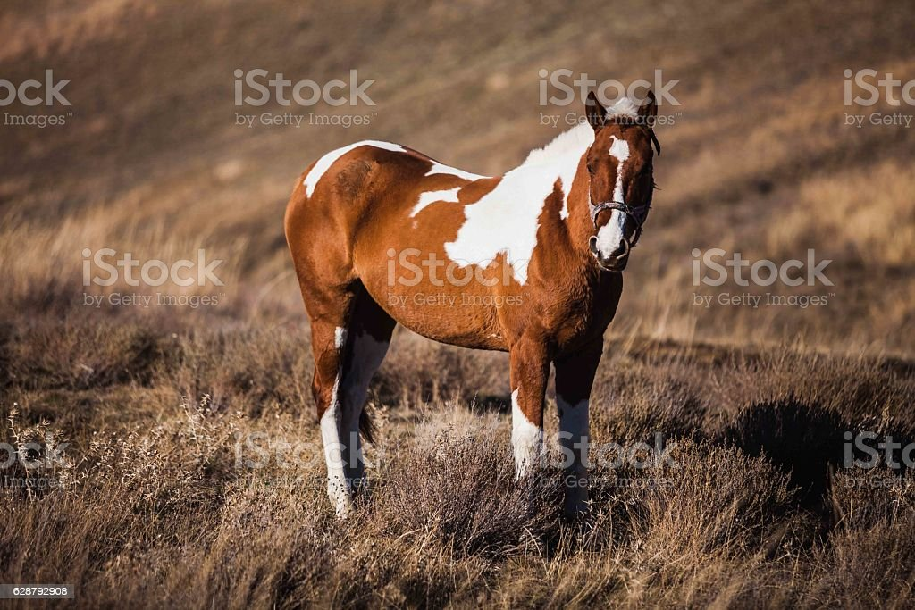 Pinto horse stands on the slopes stock photo