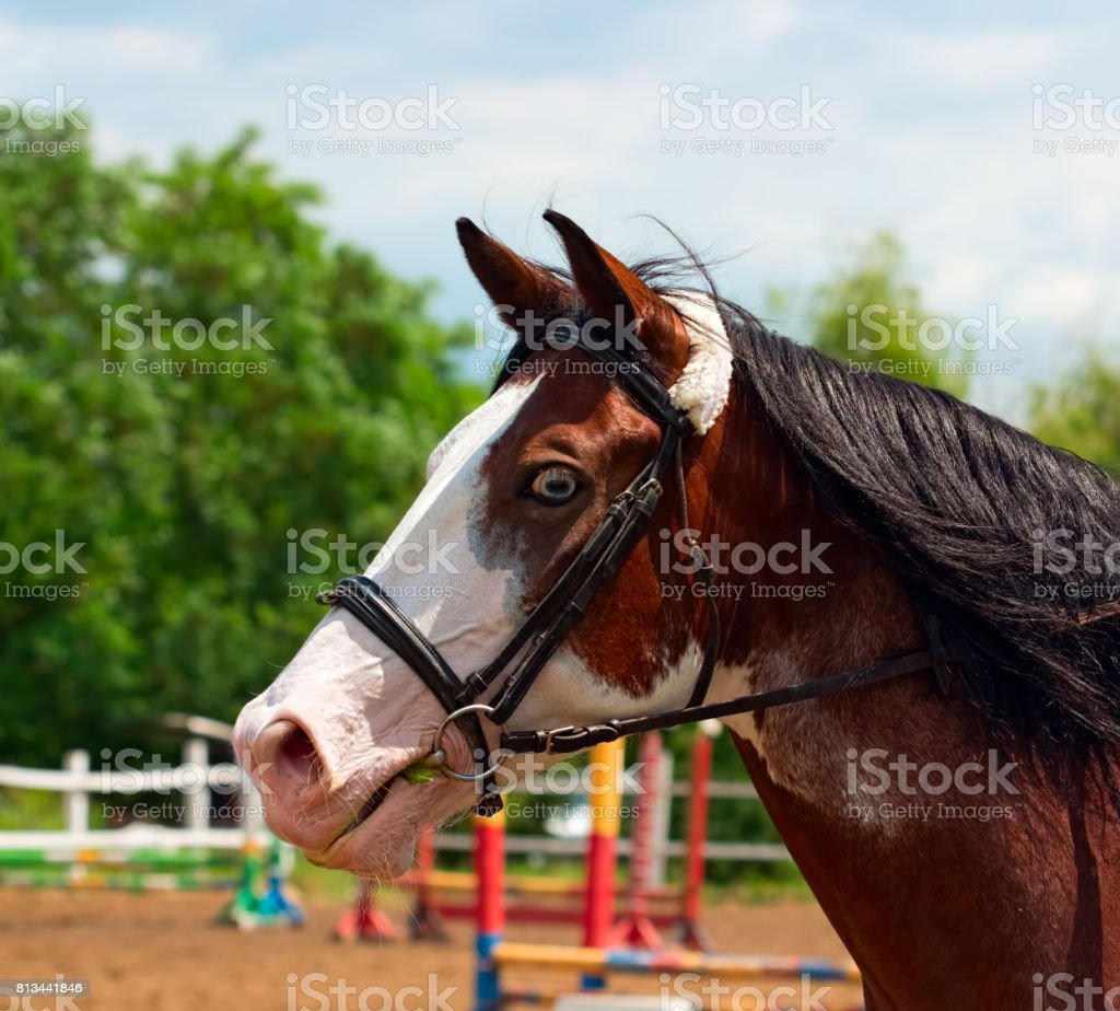 Pinto horse with blue eyes and black mane stock photo