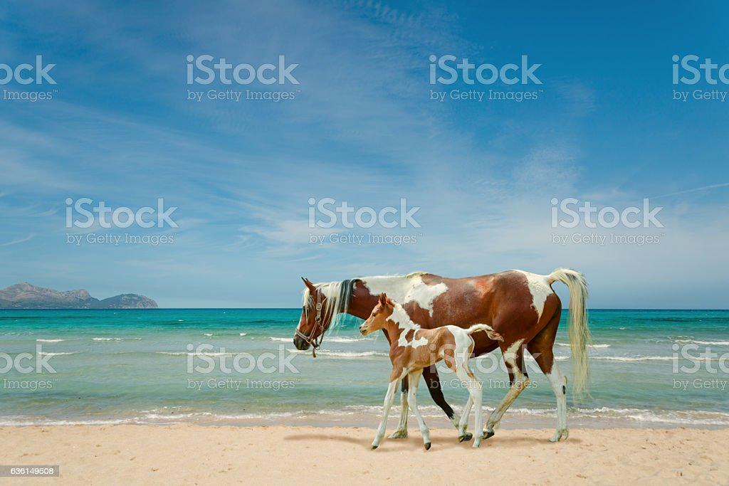 Pinto horses on beach - mare and newborn foal stock photo