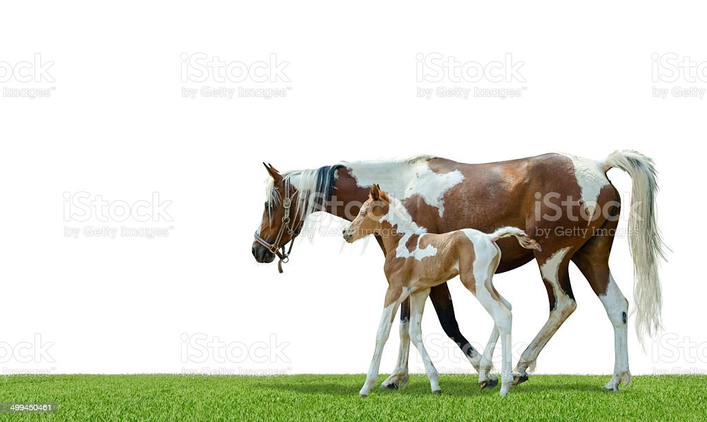 Pinto mare and newborn foal - isolated on white stock photo
