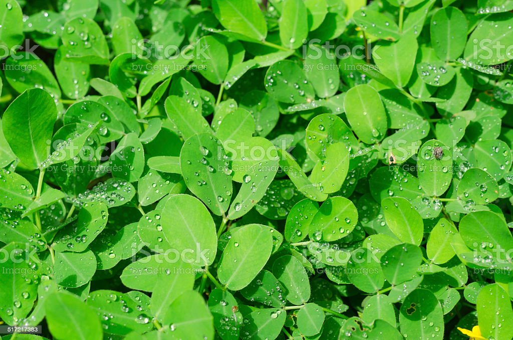 pinto peanut leaves and water drops stock photo