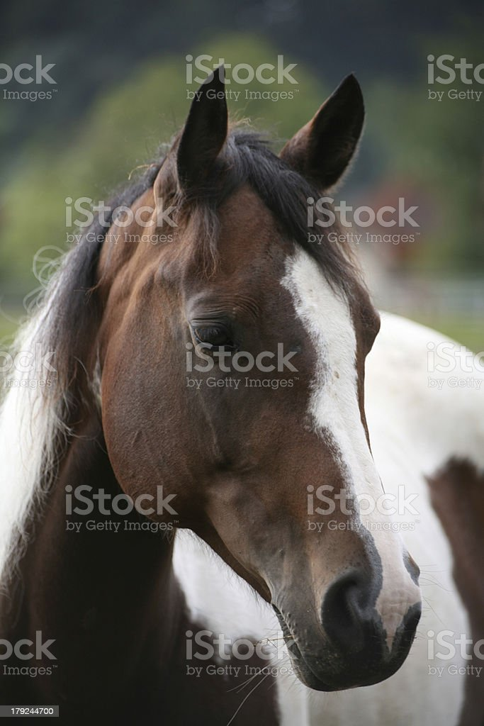 Pinto Mare royalty-free stock photo