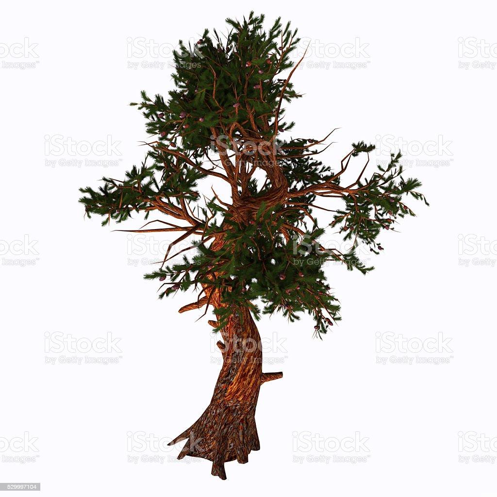 Pinus aristata Tree stock photo