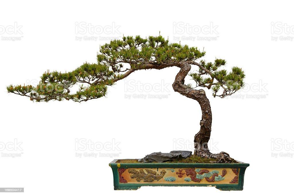 Pinus massoniana (Masson's Pine) bonsai stock photo