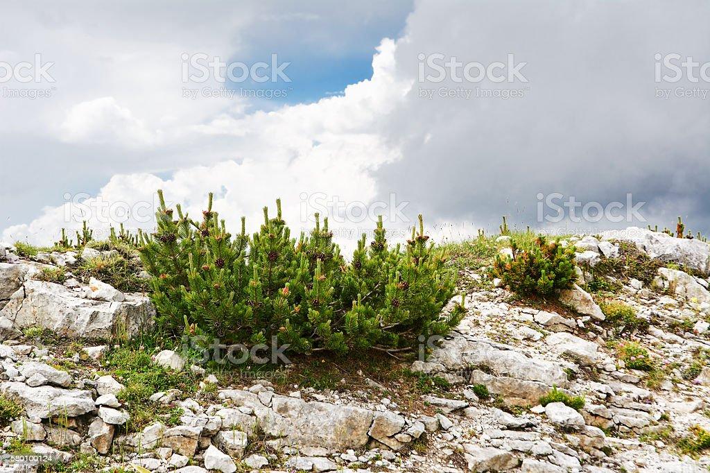 Pinus mugo caracteristic in mountain stock photo