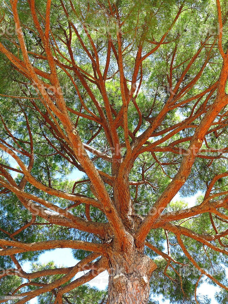 pinus pinea umbrella pine seen from below stock photo
