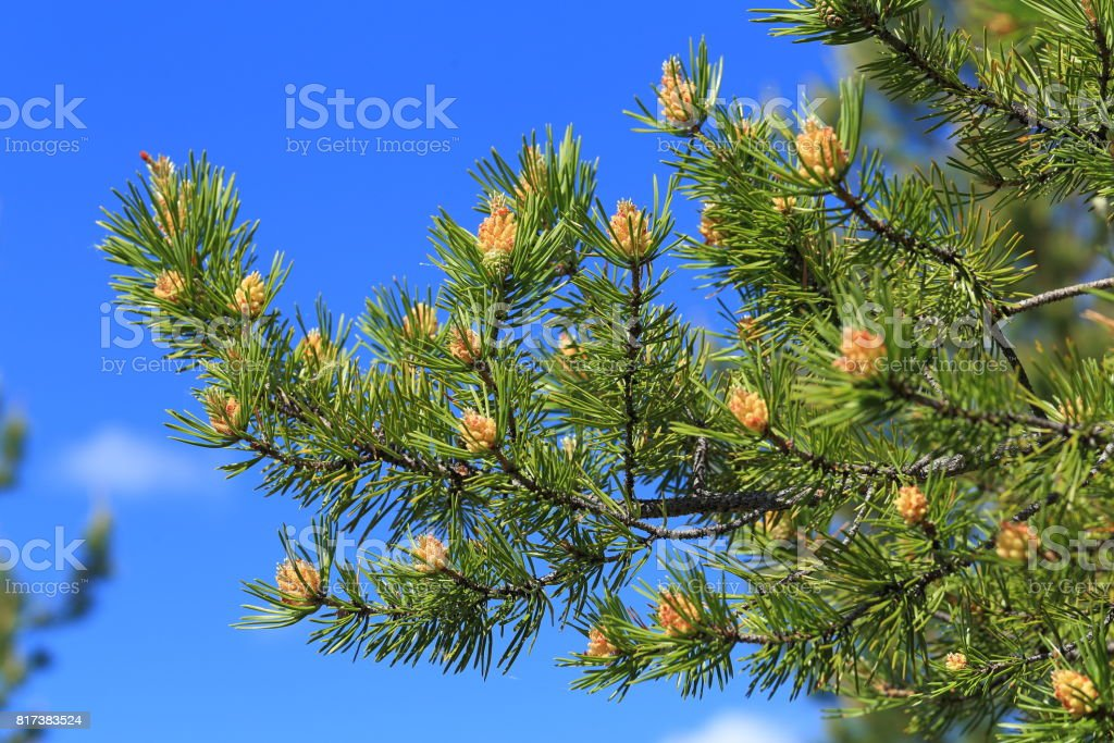 Pinus sylvestris. Branch of pine on a background of blue sky stock photo