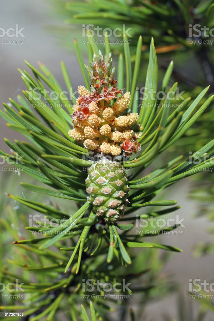 Pinus sylvestris. Branch of pine with inflorescence and green cone stock photo