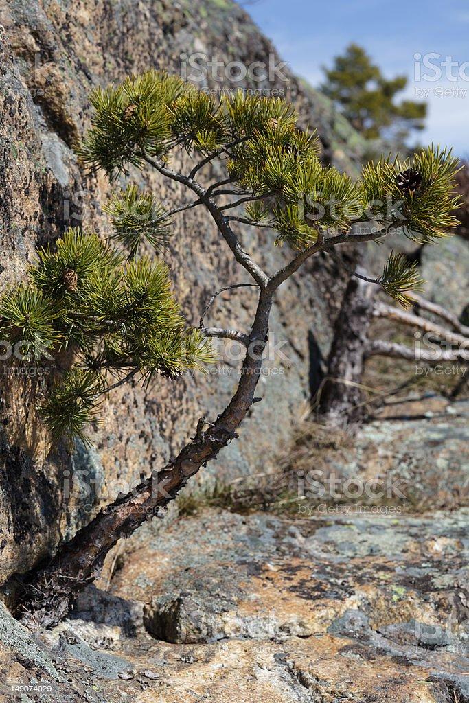 Pinus Sylvestris royalty-free stock photo