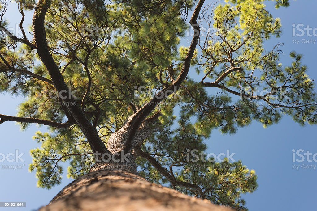 Pinus taeda seen from below stock photo
